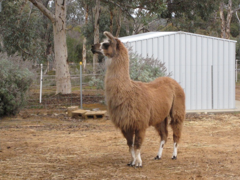Margie my beautiful Llama